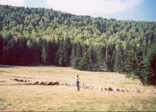 2416502-Shepherd_and_the_flock_Judetul_Harghita