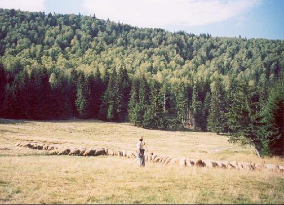 2416502-Shepherd_and_the_flock_Judetul_Harghita
