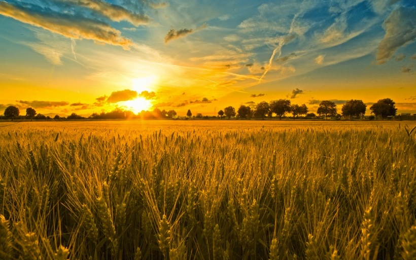 Harvest-Field1